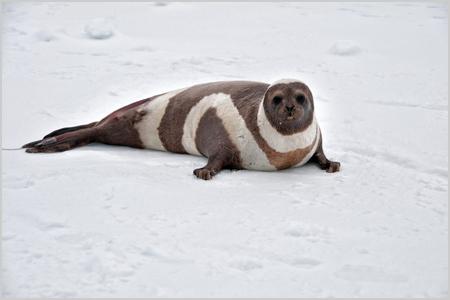 MICROSOFT: La Inteligencia Artificial se convierte en aliada de los animales en peligro de extinción del Ártico